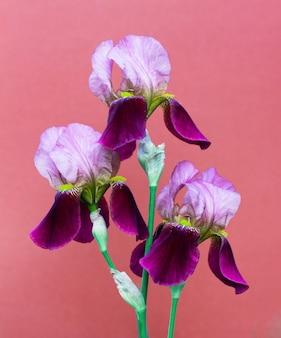 Mooie paarse irissen bloemen op een donkerroze achtergrond close-up