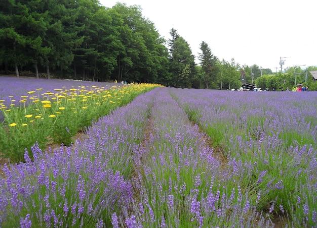 Mooie paarse kleur van lavendel veld in hokkaido, japan