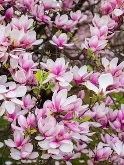 Mooie paarse magnoliabloemen in de lente aan de magnoliaboom. roze bloei.
