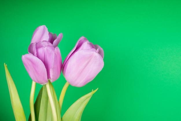 Mooie paarse tulpen op een helder groene achtergrond, met kopie ruimte aan de rechterkant voor uw tekst