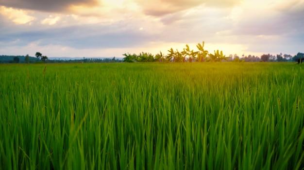Mooie padieveldrijst met zonsondergang in platteland van thailand