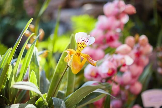Mooie paphiopedilum-orchideebloem die op tuin bloemenachtergrond bloeien