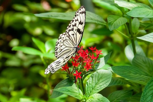 Mooie papieren vliegervlinder die zich voedt met nectar van rode bloem omringd door groene bladeren