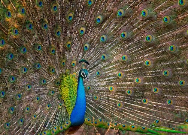 Mooie pauw met kleurrijke staart
