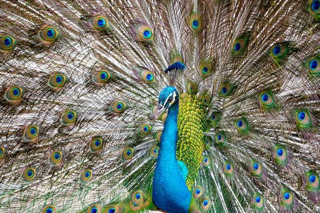 Mooie pauwshow dansende kleurrijke veren