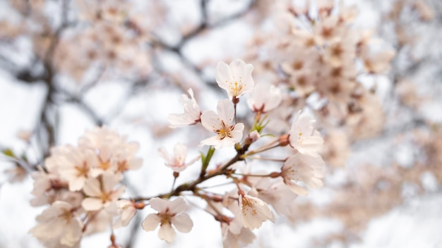 Mooie perzikboom bloesem