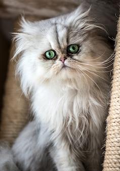 Mooie perzische kat met witte vacht en groenblauwe ogen