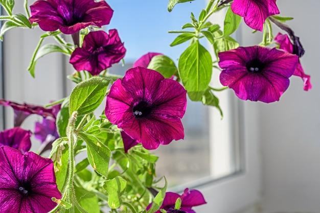 Mooie petunia bloemen op de vensterbank. zomerstemming.