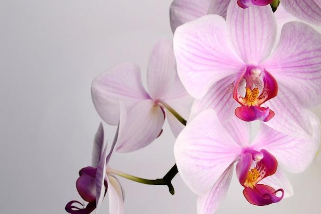Mooie phalaenopsis-orchideebloemen, die op witte achtergrond worden geïsoleerd