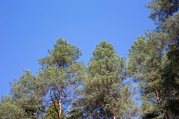 Mooie pijnbomen tegen de blauwe lucht, zomer