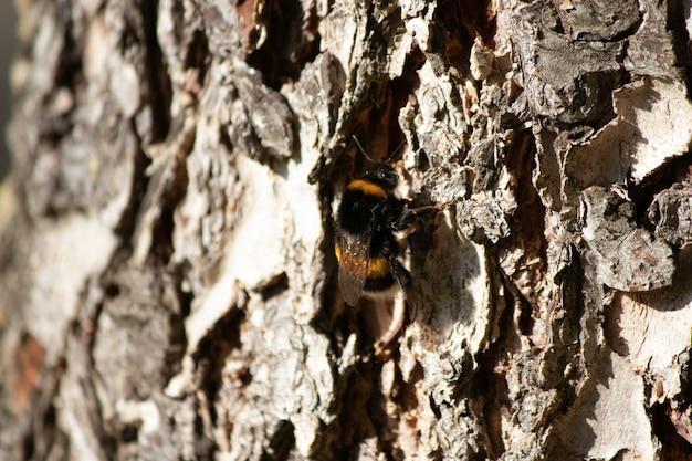 Mooie pluizige hommel op een boom dichtbij op de schors van bomen pluizig insect