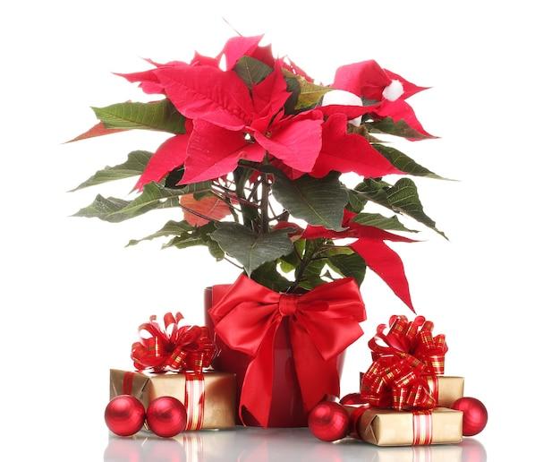 Mooie poinsettia in bloempot, nieuwjaarsballen en geschenken geïsoleerd op wit