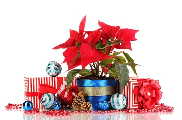 Mooie poinsettia met kerstballen en cadeautjes geïsoleerd op wit