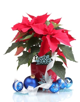 Mooie poinsettia met kerstballen geïsoleerd op wit