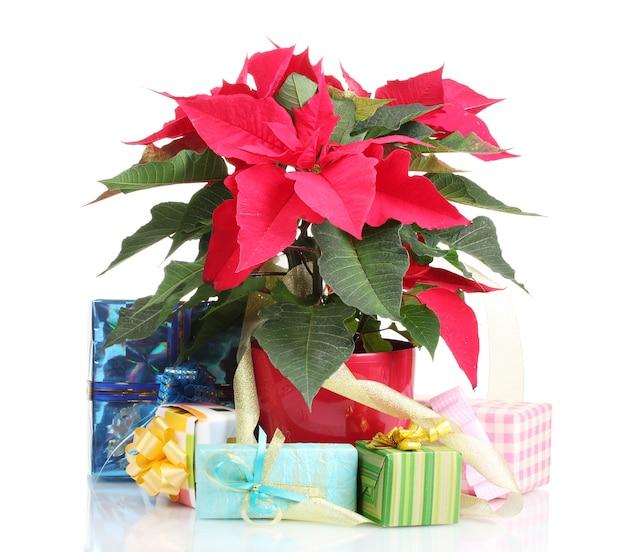 Mooie poinsettia met verschillende cadeautjes geïsoleerd op wit