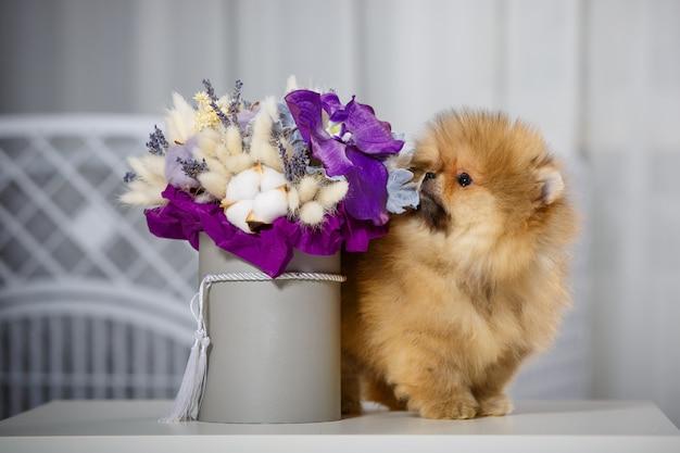 Mooie pommeren puppy, portret in het interieur met een boeket bloemen