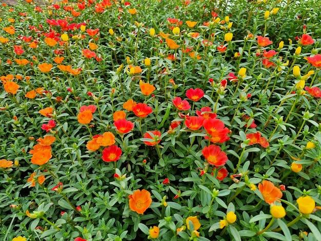 Mooie portulaca oleracea bloem in de tuin