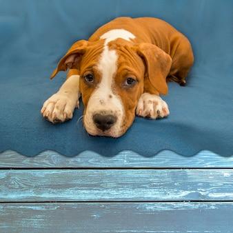 Mooie puppy amerikaanse staffordshire terrier die loyaal op houten lijst leggen