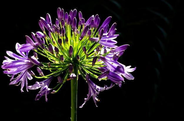 Mooie purpere kleuren afrikaanse lelie die (kaap blauwe lelie) bloeien op dark