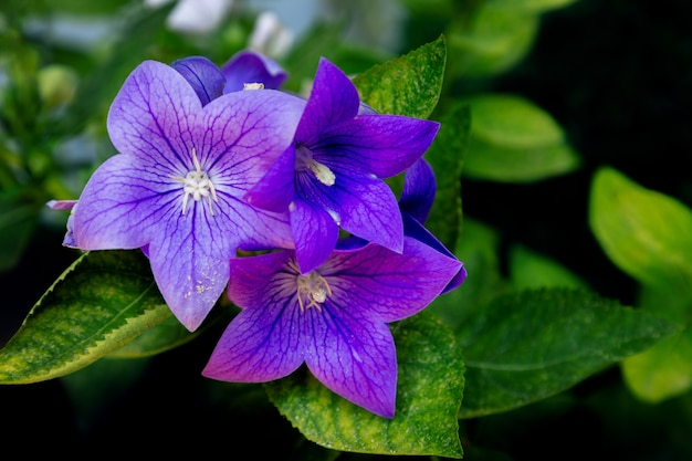 Mooie purple bell-bloem in de tuin