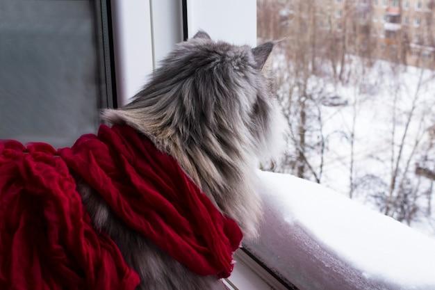 Mooie rasechte kat in een rode sjaal kijkt naar het winterlandschap buiten het raam. winter is gekomen