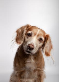 Mooie rashond met aandacht die tegen wit wordt geïsoleerd