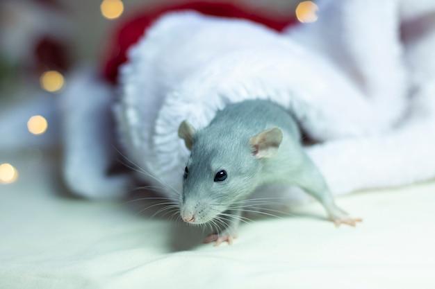 Mooie rat zitten in een kerstmuts