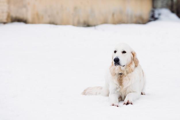 Mooie retriever beige kleur in de sneeuw