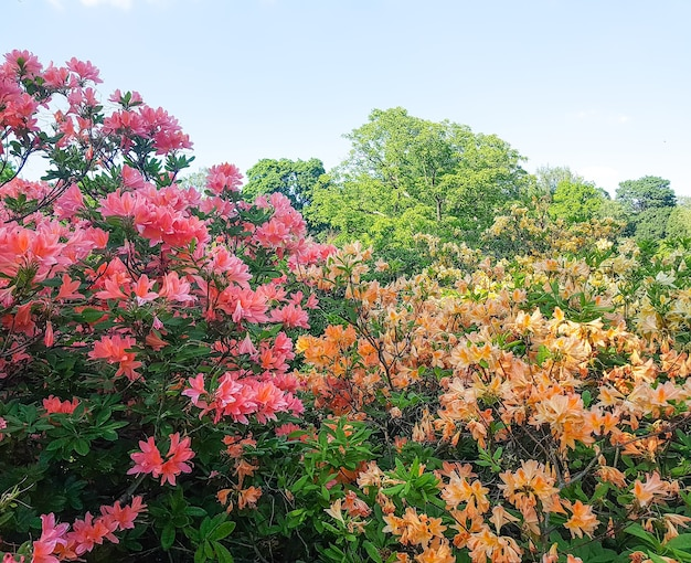 Mooie rhododendron plant met geurige bloemen in het voorjaarspark.