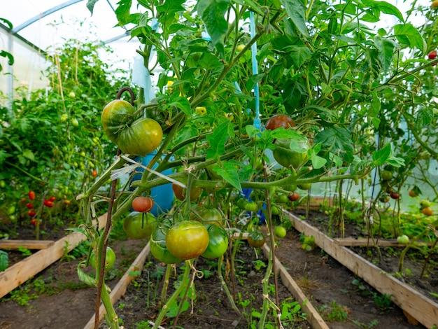 Mooie rijpe tomaten gekweekt in een kas. mooie achtergrond