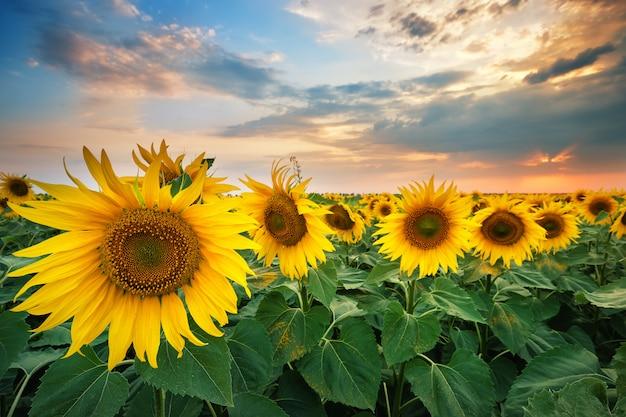 Mooie rijpe zonnebloemen bij zonsondergang