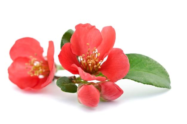 Mooie rode bloem op wit