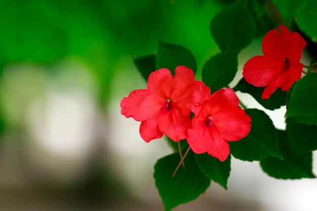 Mooie rode bloemen in de tuin.