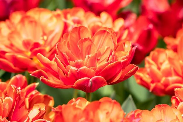 Mooie rode en oranje tulpen