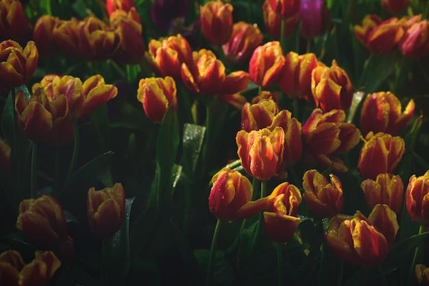 Mooie rode en oranje tulpenbloem in tuin
