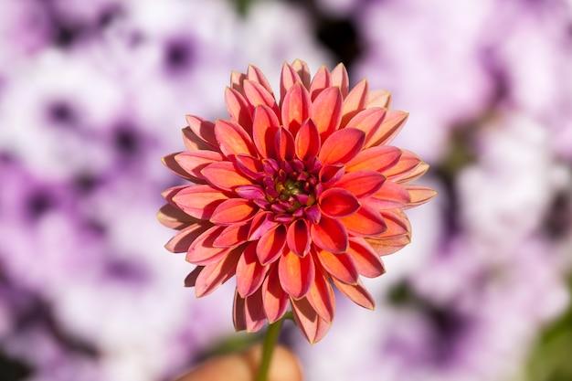 Mooie rode en roze bloemen in bloembedden in de lente bloemen sluiten omhoog en groeien in een bloembed in de stad bloeiende planten