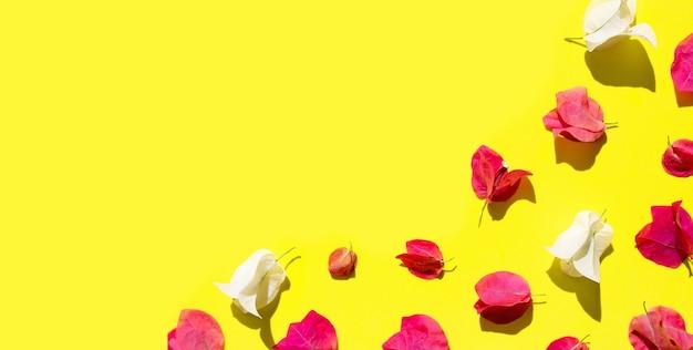 Mooie rode en witte bougainvillea bloem op gele achtergrond. bovenaanzicht
