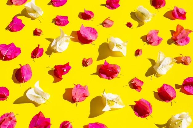 Mooie rode en witte bougainvilleabloem op gele achtergrond.