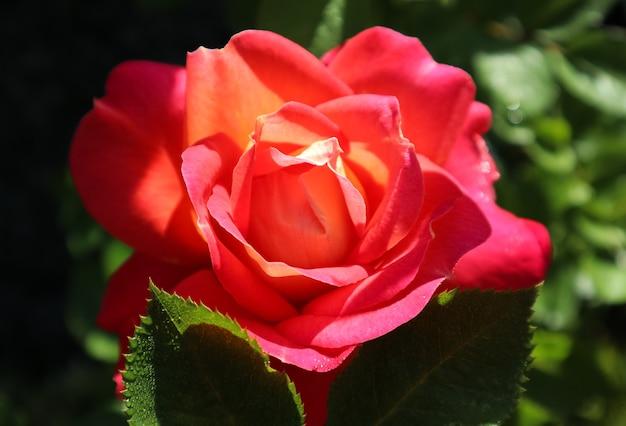 Mooie rode gele roos in de tuin in zonnige dag midzomer