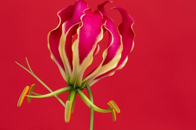 Mooie rode glariosa bloem op een rode achtergrond