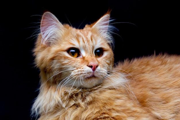 Mooie rode maine coon-kat die met grote oren en harige staart in de camera kijkt geïsoleerd op zwarte achtergrond, vooraanzicht