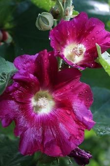 Mooie rode malve bloem close-up.