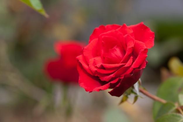 Mooie rode roos in een tuin