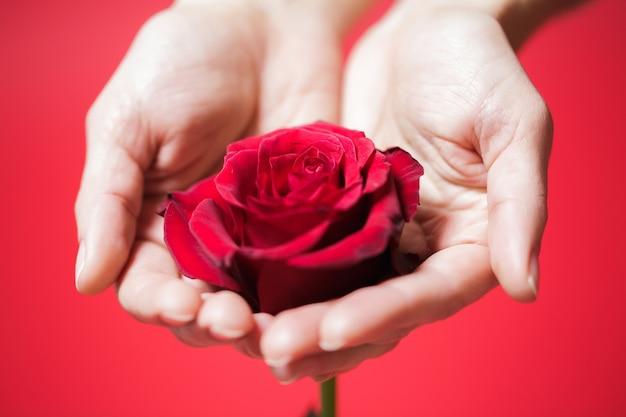 Mooie rode roos in handen van de vrouw op een rode achtergrond. valentijnsdag
