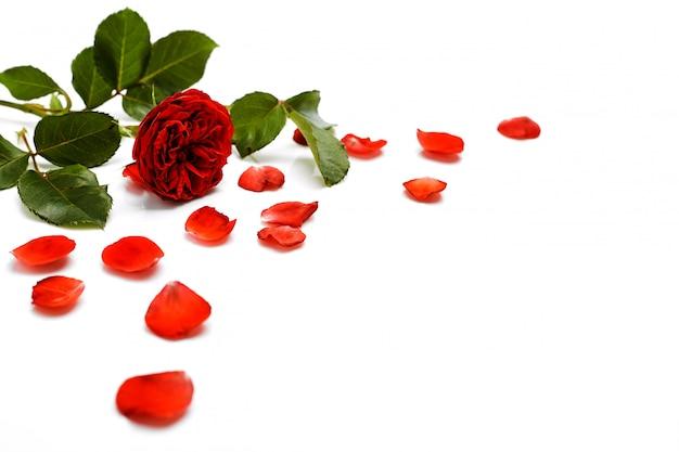 Mooie rode roos met bladeren op wit