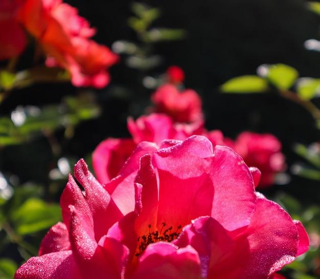 Mooie rode roos met dauwdruppels in de tuin op zonnige dag perfecte achtergrond van wenskaarten