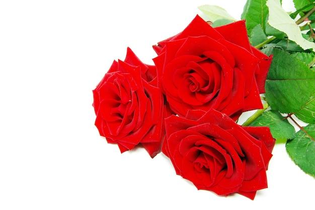 Mooie rode roos op een witte achtergrond