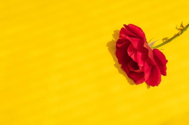 Mooie rode roos op felgele achtergrond met harde creatieve schaduwen