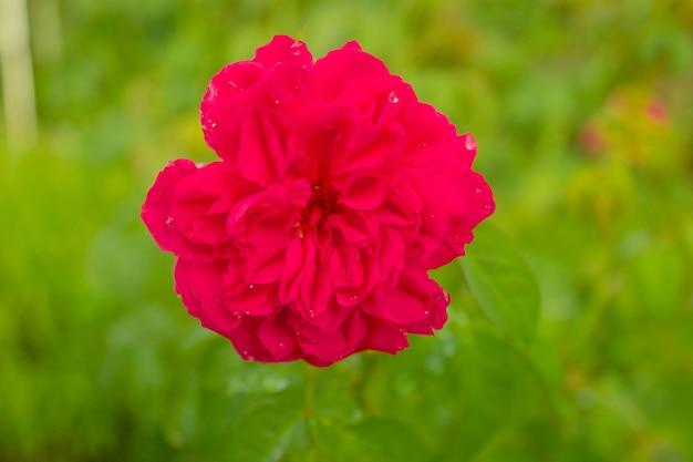 Mooie rode roze bloem met onscherpe achtergrond