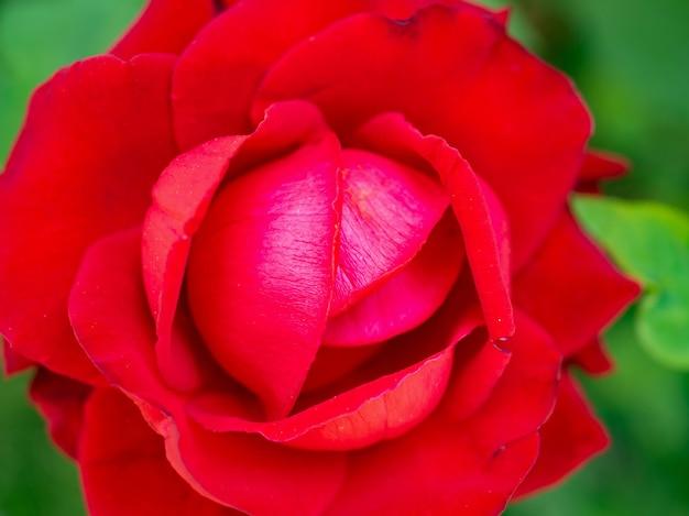 Mooie rode rozen bloeien in de tuin